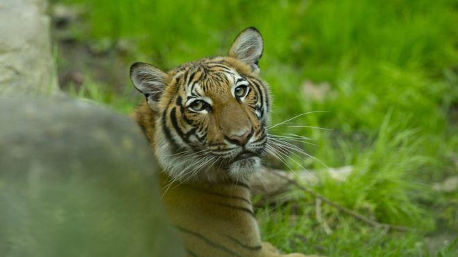 Coronavirus: Tiger at Bronx Zoo tests positive for Covid-19